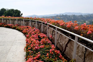 bougainvillea border an overlook at The Getty Center in Los Angeles, California