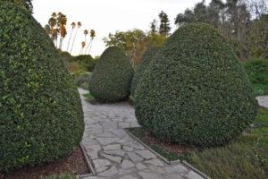 shaped hedges in the LA Arboretum & Botanic Garden in Arcadia, California.