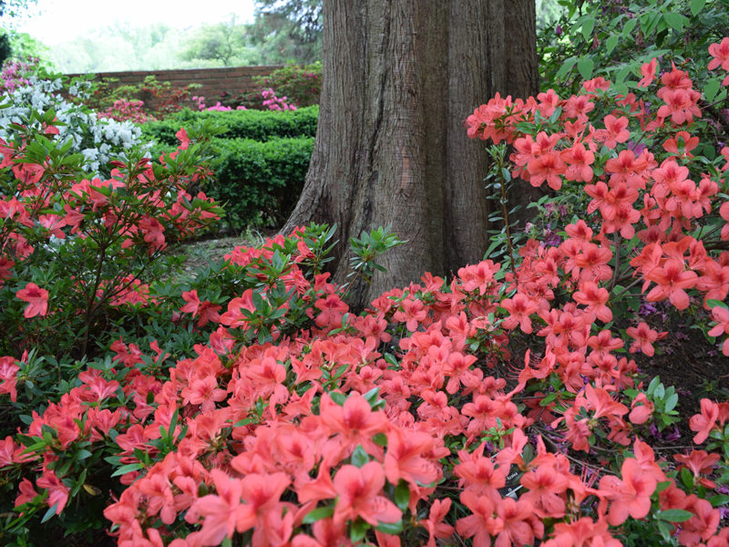 red azalea flowers, taken at The U.S. National Arboretum in Washington, D.C.