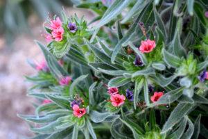 flowering plant at the LA Arboretum & Botanic Garden in Arcadia, California.