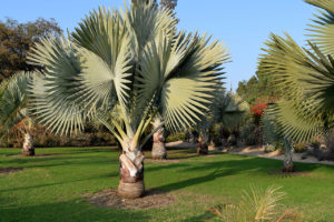 palm collection at the Los Angeles County Arboretum & Botanic Garden is a127-acre arboretum, botanical garden, and historical site in Arcadia, California.