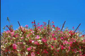bougainvillea on rebar trellises at The Getty Center in Los Angeles, California