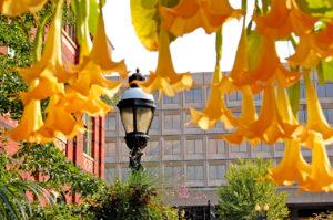 Brugmansia in The Enid A. Haupt Garden in Washington, D.C.