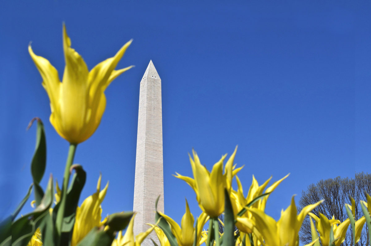 yellow tulips and the Washington Monument at The Floral Library in Washington, DC