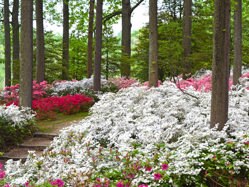 many-colored azalea bushes at Brighton Dam Azalea Garden in Brookeville, Maryland