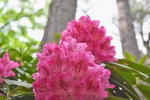 rhododendron flowers at Norfolk Botanical Garden in Norfolk, Virginia