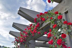 roses climb a trellis at Norfolk Botanical Garden in Norfolk, Virginia