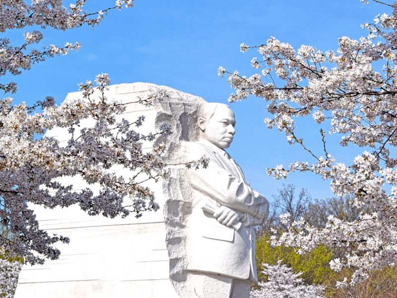 cherry blossoms in front of the Martin Luther King Jr. Memorial in Washington, D.C.