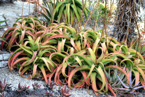 cluster of aloe plants at the Mildred E. Mathias Botanical Garden in Los Angeles, California