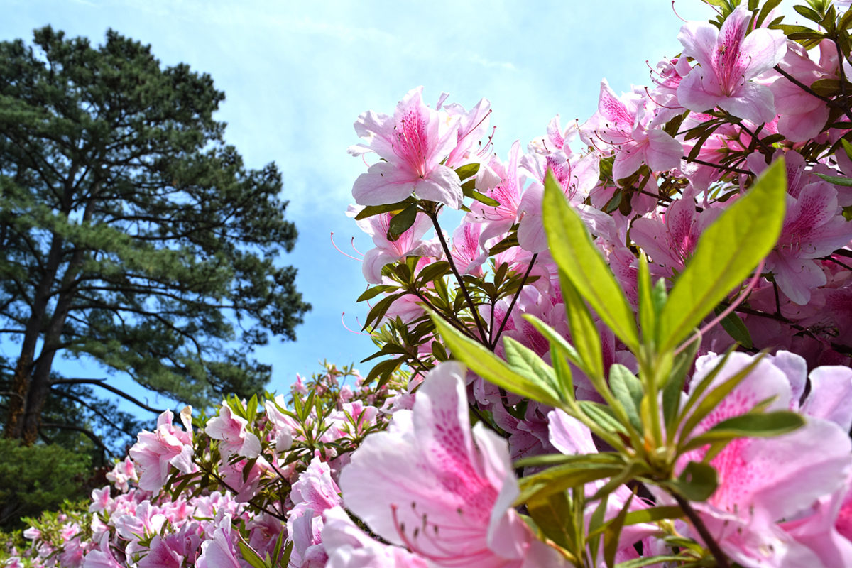 azalea flowers at Norfolk Botanical Garden in Norfolk, Virginia