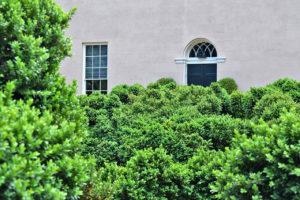 dense boxwood hedges at Tudor PlaceHistoric House & Garden in Washington, DC