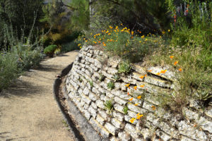stone wall with poppy flowers at the Mildred E. Mathias Botanical Garden in Los Angeles, California