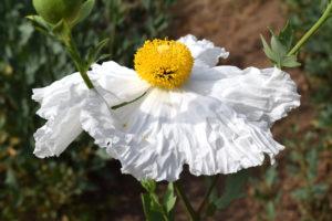 Matilija poppy flower at the Mildred E. Mathias Botanical Garden in Los Angeles, California