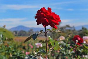 rose garden in Balboa Park in San Diego, California