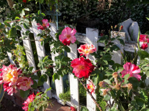 roses grow on white fence at California's Venice Canals in Venice, California