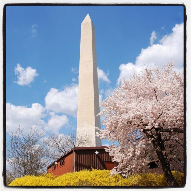 a favorite D.C. spring composition with cherry blossoms and forsythia. I used to take this photo many years in a row. . . . . . #gradinggardens #gardenblog #gardens #flowers #flowerphotography #DCgardens #gardentourism #washingtonDC #cherryblossoms #DC #all_gardens  #washingtonmonument #forsythia #flowersofinstagram