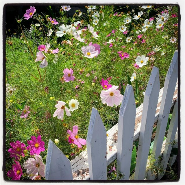 this yard was just overflowing with flowers (of which kind I do not know)⠀⠀⠀⠀⠀⠀⠀⠀ .⠀⠀⠀⠀⠀⠀⠀⠀⠀ .⠀⠀⠀⠀⠀⠀⠀⠀⠀ .⠀⠀⠀⠀⠀⠀⠀⠀⠀ .⠀⠀⠀⠀⠀⠀⠀⠀⠀ . ⠀⠀⠀⠀⠀⠀⠀⠀⠀ #gradinggardens #garden #gardenblog #gardens  #privategarden #california #sawtelle #sawtellejapantown #californiagarden #flower #floweridentification #frontyard #flowers #stayhome #losangeles #LA  #gardenblog #flowers  #gardenwalk #citynaturechallenge #plantwalk #latimesplants @latimesplants