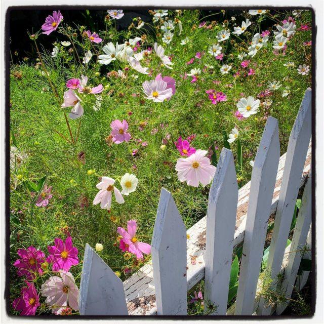 this yard was just overflowing with flowers (of which kind I do not know)⠀⠀⠀⠀⠀⠀⠀⠀ .⠀⠀⠀⠀⠀⠀⠀⠀⠀ .⠀⠀⠀⠀⠀⠀⠀⠀⠀ .⠀⠀⠀⠀⠀⠀⠀⠀⠀ .⠀⠀⠀⠀⠀⠀⠀⠀⠀ . ⠀⠀⠀⠀⠀⠀⠀⠀⠀ #gradinggardens #garden #gardenblog #gardens  #privategarden #california #sawtelle #sawtellejapantown #californiagarden #flower #floweridentification #frontyard #flowers #stayhome #losangeles #LA  #gardenblog #flowers  #gardenwalk #citynaturechallenge #plantwalk #latimesplants @latimesplants