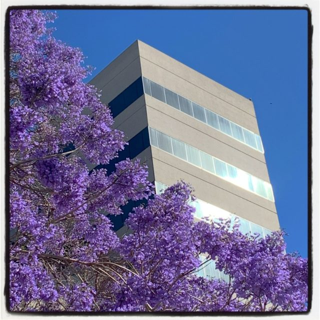 who doesn't love when the jacarandas swallow the city in their fluttery purple clouds? ⠀⠀⠀⠀⠀⠀⠀⠀⠀ .⠀⠀⠀⠀⠀⠀⠀⠀⠀ .⠀⠀⠀⠀⠀⠀⠀⠀⠀ .⠀⠀⠀⠀⠀⠀⠀⠀⠀ .⠀⠀⠀⠀⠀⠀⠀⠀⠀ .⠀⠀⠀⠀⠀⠀⠀⠀⠀ #gradinggardens #gardenblog #jacarandaweek #latimesplants #floweringtrees #plantwalk #jacarandamimosifolia #jacarandatree #losangeles #westLA